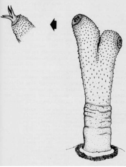 Platypus Penis 119