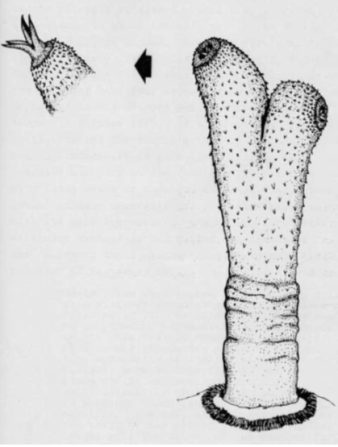 platypus penis