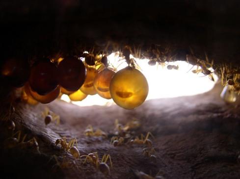 honeypot ants hanging 2