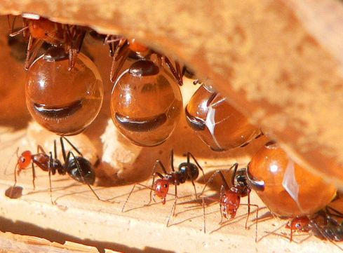 honeypot ants hanging
