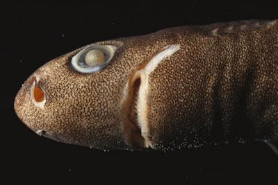 spined pygmy shark face