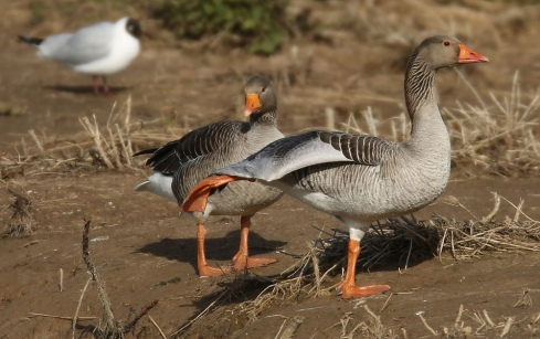 Greylag Geese pair