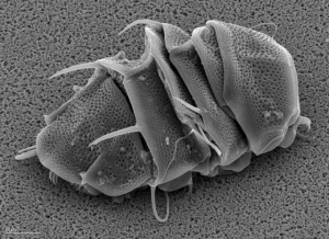A tardigrade tun, Photo: Dr. Ralph O. Schill