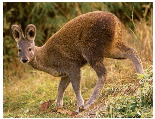 Musk deer butt