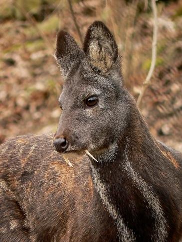 Musk deer face