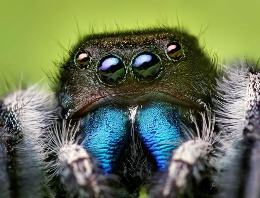 Jumping spider wiki 2