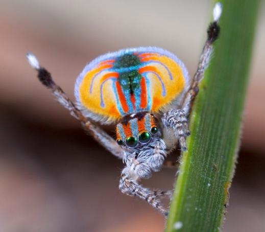Peacock jumping spider Maratus volans