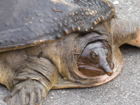 Soft shell turtle grumpy