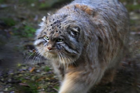 Pallas on the prowl - Photo: Flickr/jinterwas