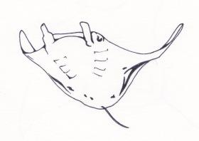 manta-ray-2