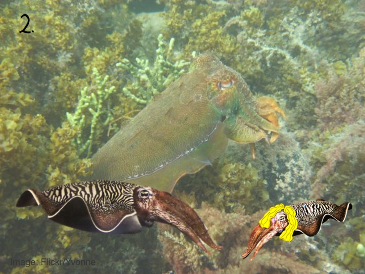 Cuttlefish strategy pictures.002