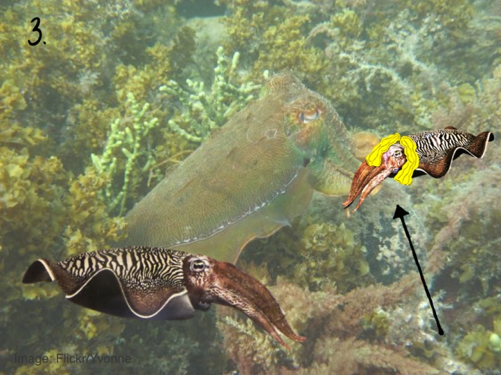 Cuttlefish strategy pictures.003